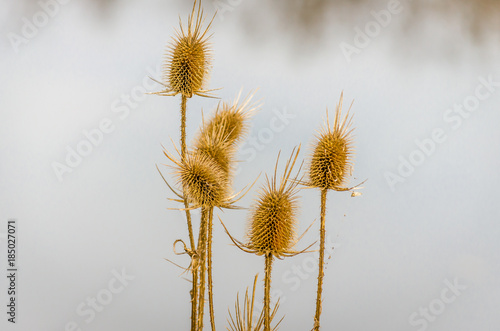Fotografering Dry thistle. Dry thistle at the end summer.