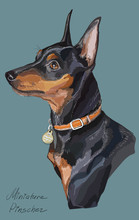 Miniature Pinscher Colorful Ve...