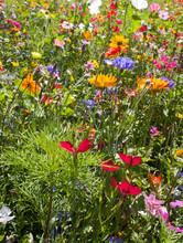 Field Of Summer Wild Flowers, ...