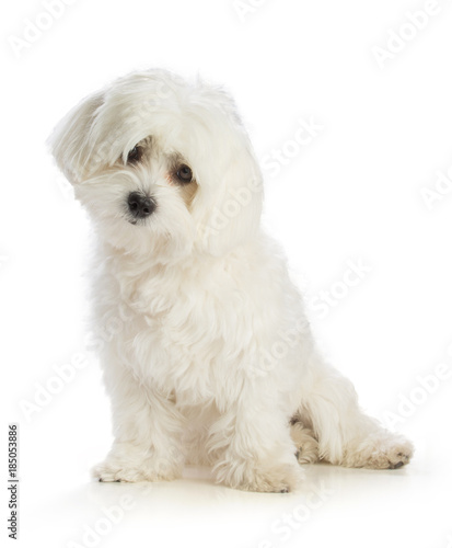 Lovely bichon on white background Tablou Canvas