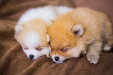 Two Cute Fluffy Pomeranian Spitz Puppies Sleeping On Brown Blanket