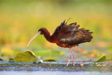 Glossy Ibis (Plegadis Falcinel...