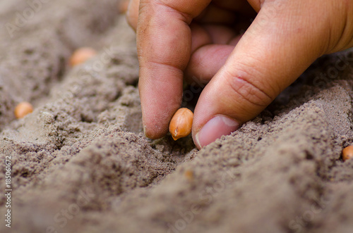 Fotografia farmer hand sowing peanut seed to ground