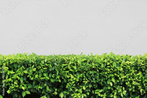 Cuadros en Lienzo Green shrubs of tree in the garden.