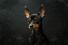 Miniature Pinscher Portrait On...