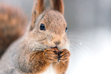 closeup shoot of red squirrel with nut on blurry forest background