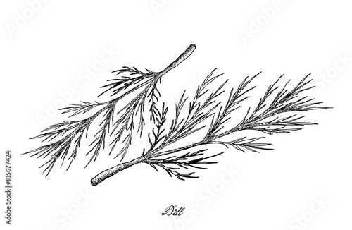 Hand Drawn of Dill Plants on White Background Fototapet