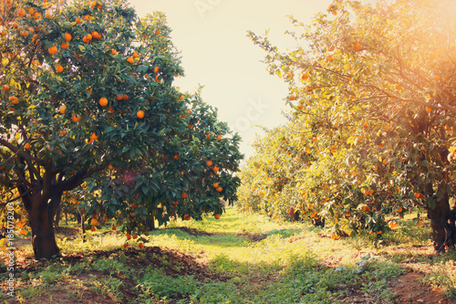 In de dag Diepbruine Rural landscape image of orange trees in the citrus plantation.