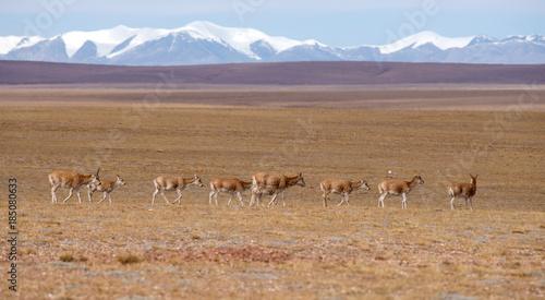 Tibetan antelope of Hoh Xil,Qinghai Province,China