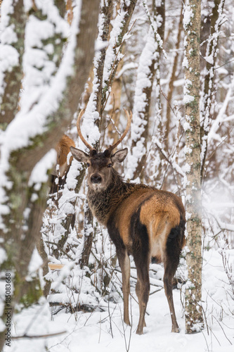 Single Young Noble Red Deer (Cervus Elaphus) With Beautiful Horns Among Snow-Covered Birch Forest. European Wildlife Landscape With Snow And Deer Stag With Antlers.Portrait Of  Deer. Deer In Winter