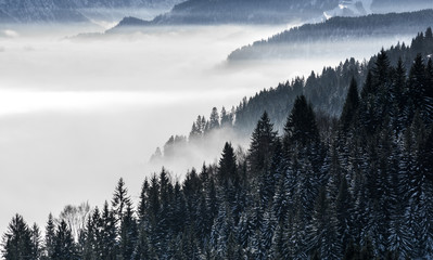 Panel SzklanyForested mountain slope in low lying valley fog with silhouettes of evergreen conifers shrouded in mist. Scenic snowy winter landscape in Alps, Bavaria, Germany.