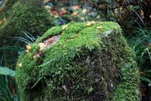 Texture Of Green Lichen Moss O...