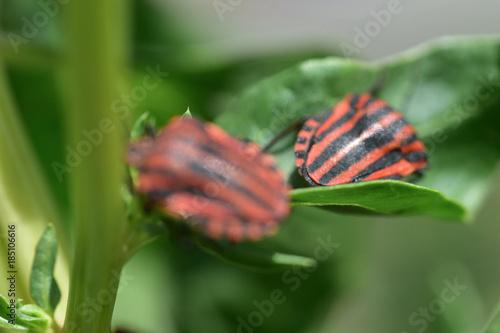 Fotografie, Obraz  Coppia di cimici su una pianta di cavoli