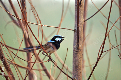 Fotografie, Obraz  Adult male Superb Fairy Wren, Malurus cyaneus, singing while perched in dead tree branches at Wyangala, central west NSW, Australia