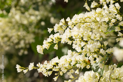 White beautiful flowers of bridal creeper tree or snow creeper tree white beautiful flowers of bridal creeper tree or snow creeper tree are blooming when the weather mightylinksfo