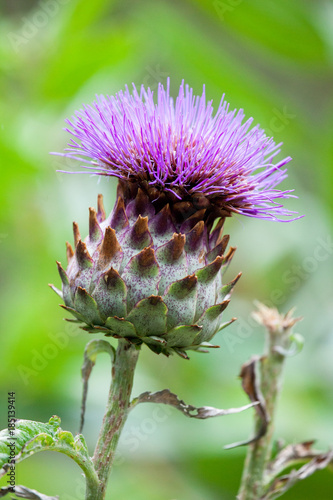 Fotografering Cardoon (Cynara Cardunculus) Also Called The Artichoke Thistle Flower