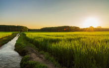 Rice Field With Sunrise Or Sun...