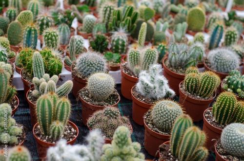 Papiers peints Cactus Cactus in shop-window
