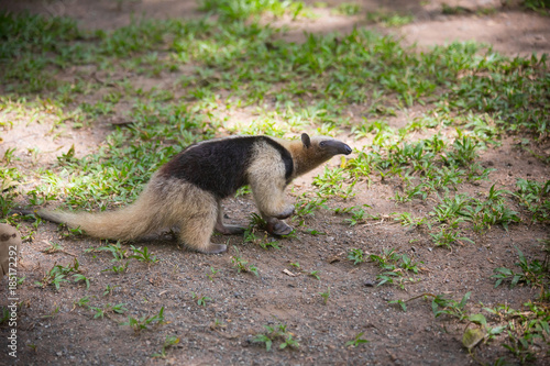 Foto Ant-eater walking on the grass. Wildlife animals of Costa-Rica