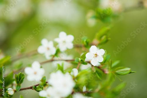 Plum cherry tree with flowers