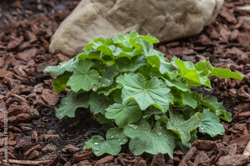 alchemilla mollis plant growing in garden on mulched soil Canvas Print