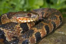 Northern Water Snake (Nerodia ...