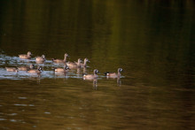 Flock Of Blue Winged Teal Duck...