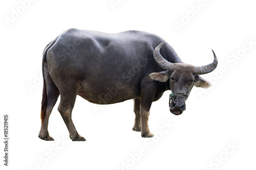 Photo sur Aluminium Buffalo Big black buffalo animal agiculture in countryside