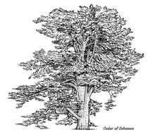 Cedar Of Lebanon Tree Illustra...