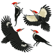 Four Poses Of American Pileated Woodpecker / American Pileated Woodpeckers Are Sitting And Flying On White Background