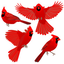 Four Poses Of Cardinal Bird / Cardinal Birds Are Sitting And Flying On White Background