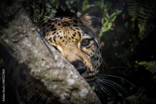 Naklejka premium Leopard half hiding behind branch in forest.