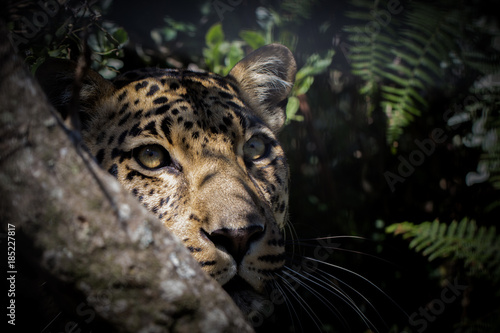 Leopard waiting in the forest.