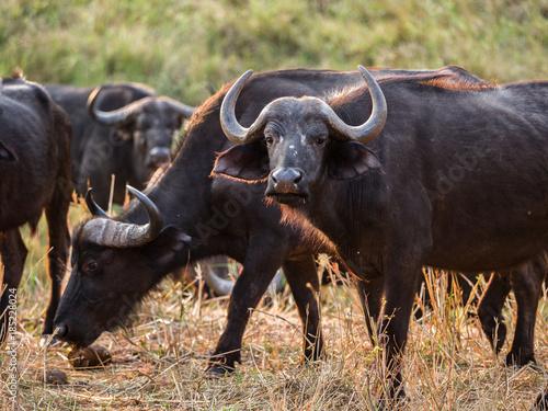 Staande foto Buffel Buffalo in Zimbabwe