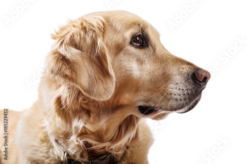 Beautiful Golden Retriever model white background Poster Mural XXL