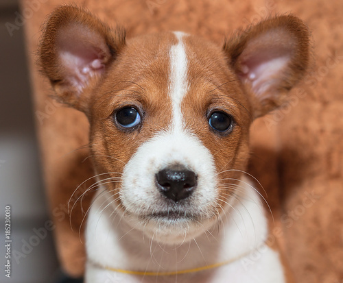 Beautiful Cute Puppy Dogs Not Barking Dog Breed Basenji Kaufen