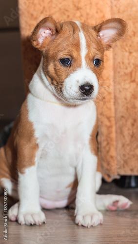 Beautiful Cute Puppy Dogs Not Barking Dog Breed Basenji Buy This
