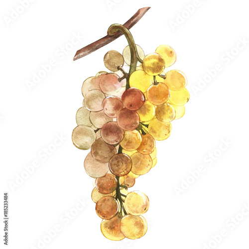 Vászonkép Watercolor illustration of bunches of white grapes