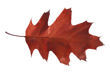 Red Leaf From Autumn Tree From Park Isolated On White