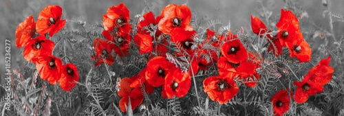 In de dag Poppy panorama with field poppies