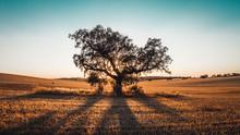 Lonely Oak In Plain