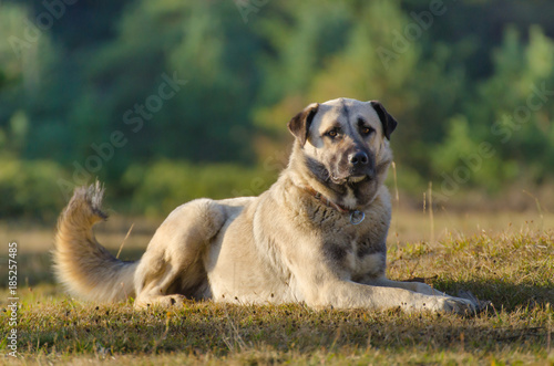 Fotografia, Obraz Anatolian shepherd dog, Turkey