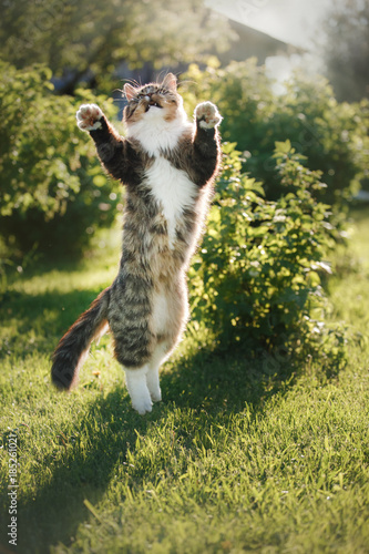 Fotografia Fluffy cat standing on hind legs