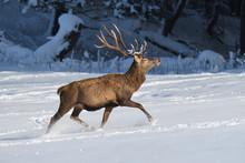 Deers Deerskin Walking In The ...