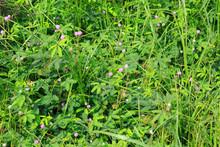 Closeup Of Green Mimosa Pudica...