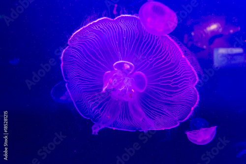 Fotografie, Obraz  Jelly fish close up under coloured lights