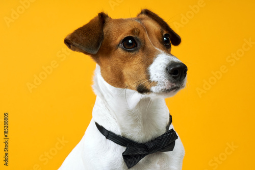 Fotografie, Obraz  Portrait of a dog breed of Jack Russell on the neck on a yellow background