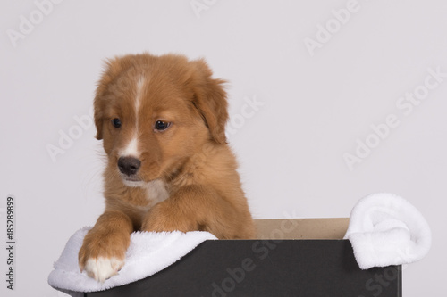 Canvas Prints Dog Toller pup 3