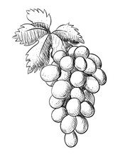 Grape Branch With Leaf Hand Dr...