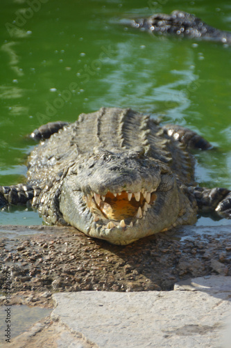 Cadres-photo bureau Crocodile The smile crocodile